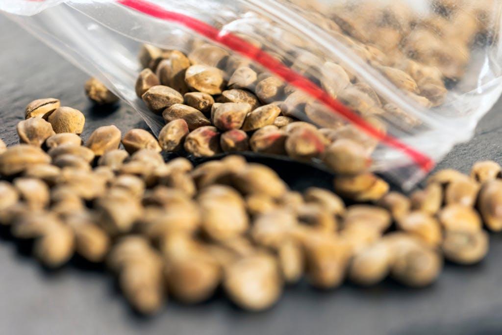 Cannabis seeds in a bag