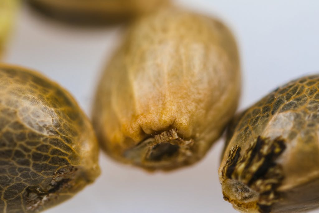 Close-up of cannabis seeds