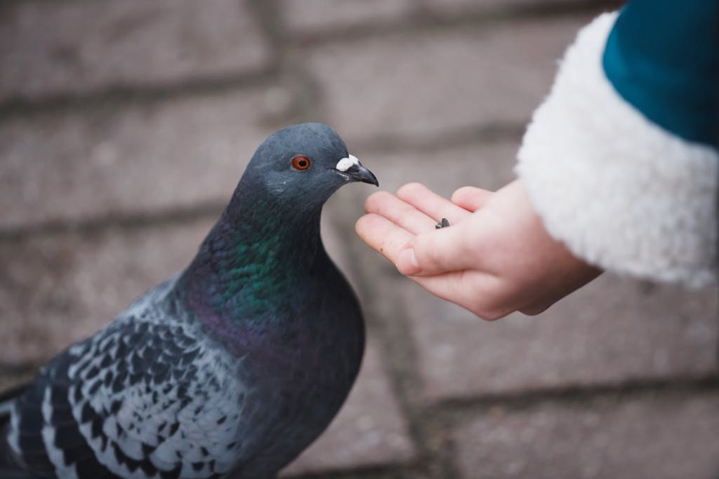Feeding a pigeon, which apparently cannot get high from delta-10-THC