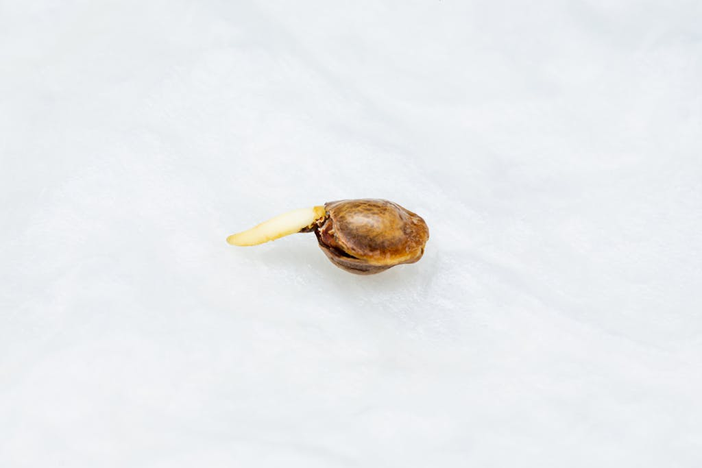 A cannabis seed germinating in a moist paper towel