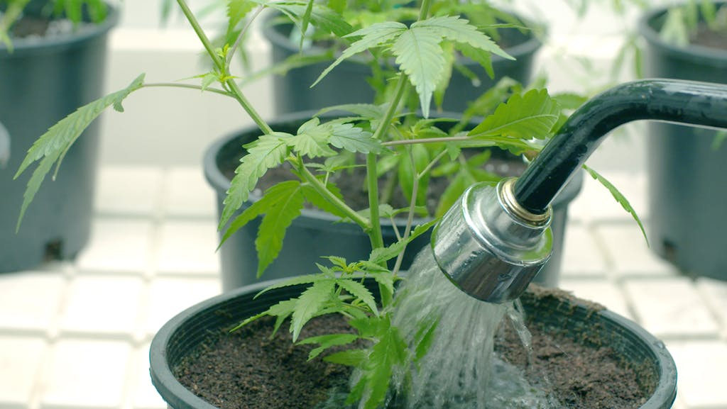 Watering a potted cannabis plant with a hose