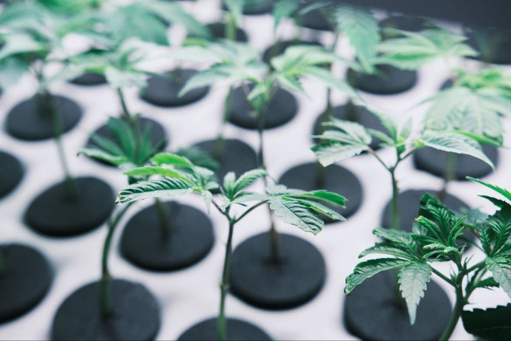 New plants at the Jushi Holding cultivation facility in Virginia