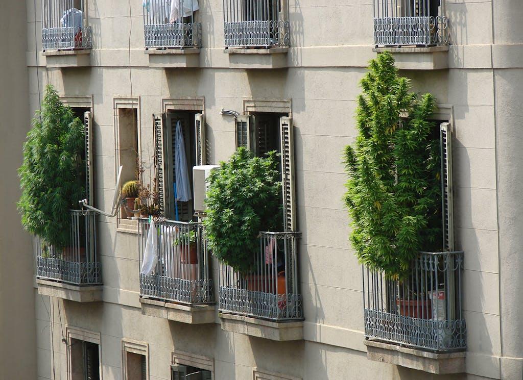 Marijuana bushes growing on balconies in Barcelona, Spain